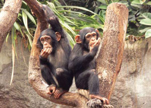<figcaption>Chimps testing the Ebola vaccine bait Credit: Courtesy of IDT Biologika. Credit: Andrea Schaenzler</figcaption>