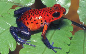 <figcaption>A strawberry poison frog at La Selva. Credit: Courtesy of Pete Carmichael</figcaption>