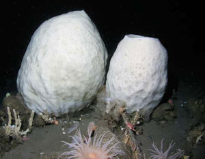 <figcaption>The giant volcano sponge Anoxycalyx joubini can grow                     large enough for a diver to swim inside. Kim can now study these deep sponges                     using the SCINI. Credit: Courtesy of Stacy Kim</figcaption>