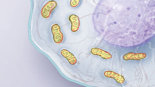 Infographic: Mitochondria at work View full size JPG | PDF