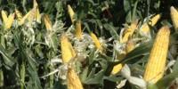 image: Drought-tolerant corn trials underwater
