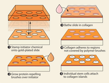 "STEM CELL ISLAND Using a clever combination of photolithography and chemistry, Watt and her colleagues lay down a sea of protein-repelling polymer ""brushes"" around a series of tiny gold-plated islands. When blanketed with collagen, these islands make ideal homes for single stem cells, which the investigators can then manipulate and monitor to assess their state of differentiation and to determine which transcriptional pathways are active."