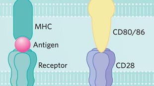 Infographic: Boosting T Cell Activation      View full size JPG (205 KB) | PDF (171 KB)