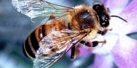 image: Honey bee microbiome probed