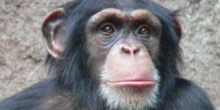 image: US Suspends New Chimp Research