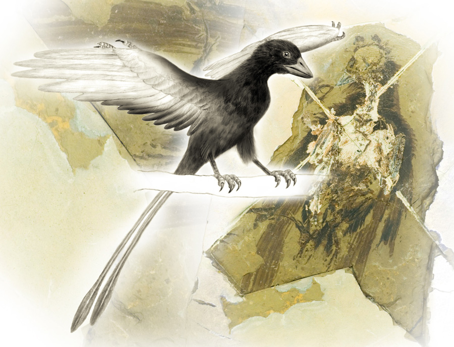 An artist's conception of the pigmentation patterns in the 120 million-year-old Confuciusornis sanctus—the oldest documented bird to display a beak. Patterns are based on chemical maps of copper and other trace metals in several fossils of this organism.Richard Hartley, University of Manchester