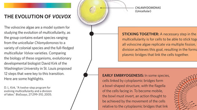 image: The Evolution of Volvox