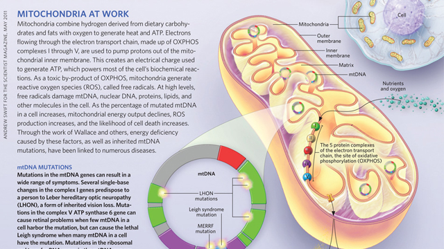image: Mitochondria at Work