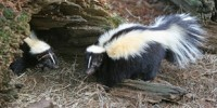 image: How skunks got their stripes