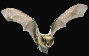 Big brown bat in flight.