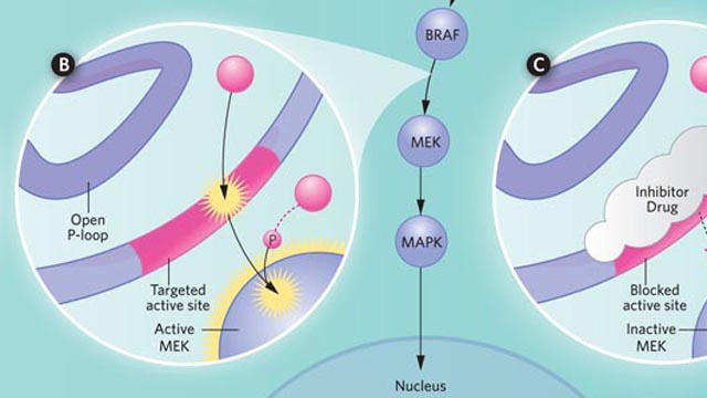 image: Molecular Targeting of BRAF Mutations