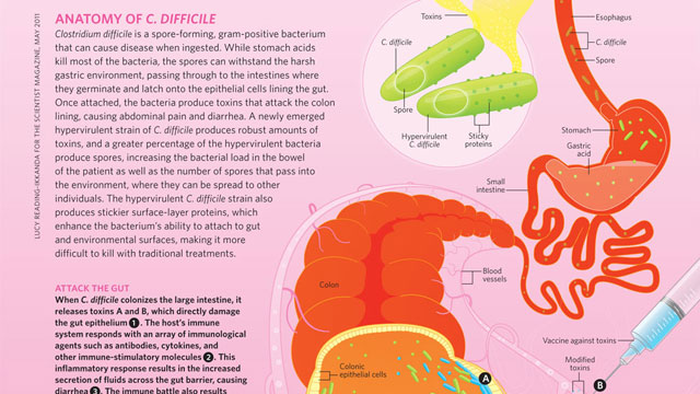 image: Anatomy of C. Difficile