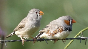 Male (right) and female Australian zebra finches