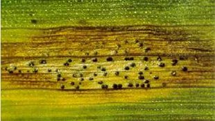 Septoria leaf spot disease, caused by M. graminicola