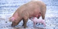 image: Animal-grown transplant organs?