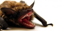 image: As bats hibernate so does rabies