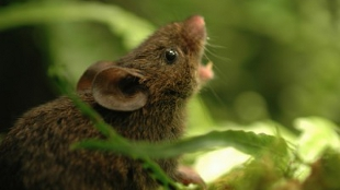 A vocalizing adult male Alston's singing mouse