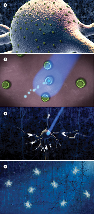 CHANNELRHODOPSINS IN ACTION <br> A neuron expresses the light-gated cation channel channelrhodopsin-2 (green dots on the cell body) in its cell membrane (1). The neuron is illuminated by a brief pulse of blue light a few milliseconds long, which opens the channelrhodopsin-2 molecules (2), allowing positively charged ions to enter the cells, and causing the neuron to fire an electrical pulse (3). A neural network containing different kinds of cells (pyramidal cell, basket cell, etc.), with the basket cells (small star-shaped cells) selectively sensitized to light activation. When blue light hits the neural network, the basket cells fire electrical pulses (white highlights), while the surrounding neurons are not directly affected by the light (4). The basket cells, once activated, can, however, modulate the activity in the rest of the network.  Watch Video