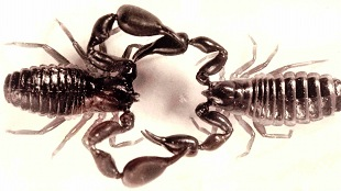 Cscorpioides mating pair