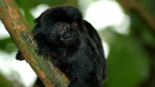 image: Virus Jumps Between Primates