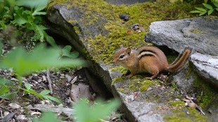 Eastern chipmunks (Tamias striatus)