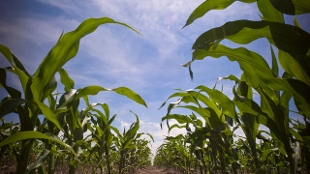 image: Opinion: Food Security Needs Sound IP