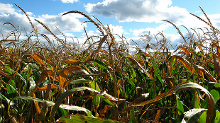 image: Anti-GM Vandals Destroy Crops