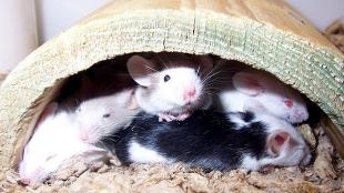 image: Humanized Mice Make Better Models