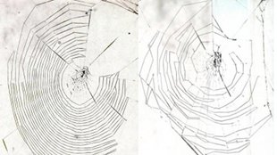Left: Web woven by a 17-day-old spider. Right: Web woven by a 188 day old spider