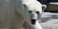 image: More Questions about Polar Bear Researcher
