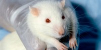image: The Virtual Physiological Rat