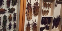 Preserved beetles from the Academy's collection, which dates back to the 1820s.