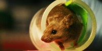 image: Moody Mice Soothed by Bacteria