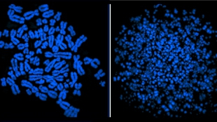 Normal mitosis occurs when replication is complete prior to chromatin condensation (left). When the ATR mechanism fails to alert the cell to incomplete DNA replication, chromatin condensation begins before replication is complete (right). See an animation of this process here.