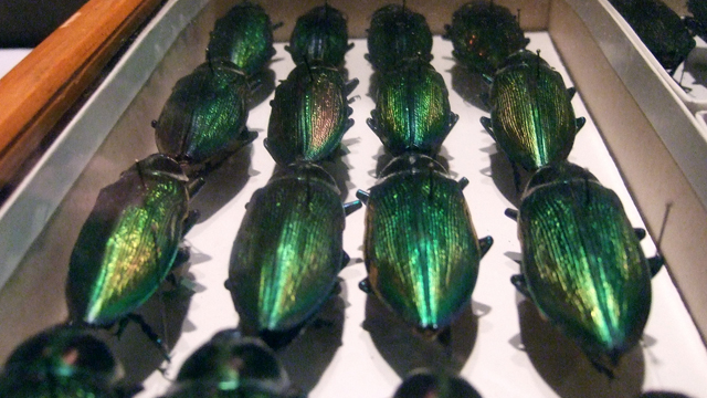 Preserved beetles from the Academy's collection, which dates back to the 1820s. Edyta Zielinska