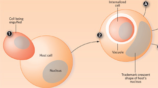 Infographic: Cell-In-Cell-Action  View full size JPG   PDF