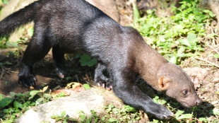 The tayra, Eira barbara