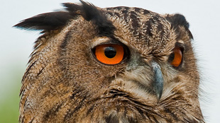 European eagle owl, or Bubo bubo
