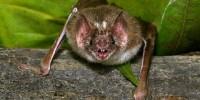 image: How Vampire Bats Find Veins