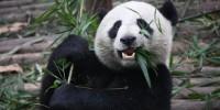 image: The Promise of Panda Poop