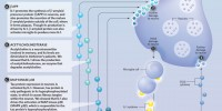 image: The Cytokine Cycle
