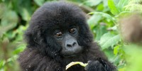 Infant gorilla from the Amahoro family group