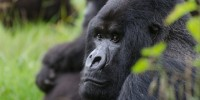 Mountain Gorilla Veterinary Project