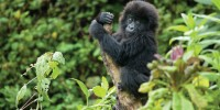 image: Gorilla Warfare