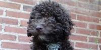 image: Hypoallergenic Dogs Overhyped?