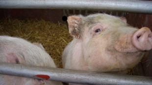 image: FDA Curbs Livestock Antibiotics