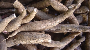 image: Big Boost to African Cassava Project