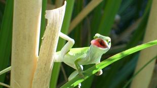 North American green anole lizard (Anolis carolinensis)