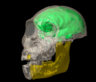 Virtual endocast (green) of a juvenile male Australopithecus sediba. Yellow indicates portions of the skull that were reconstructed by mirror-imaging the anatomy on the opposite side.