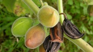Devil's claw (Martynia annua)